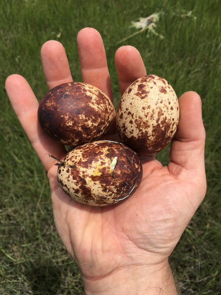 The eggs that were lost from that nest.