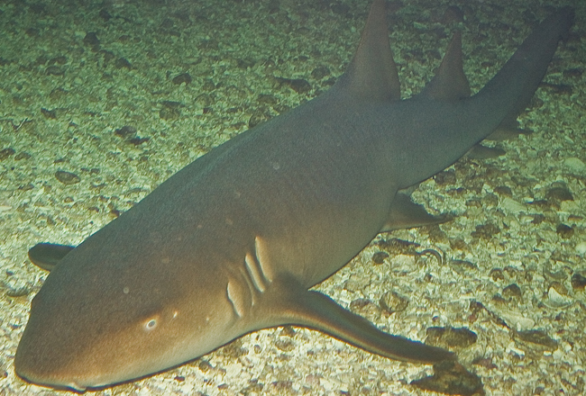 A nurse shark. Photo courtesy of Gerald Walters & Jenkinson's Aquarium.