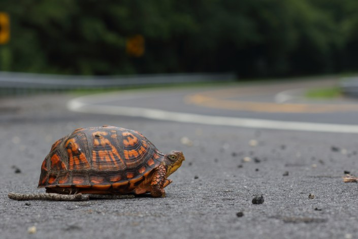 An eastern box turtle. Photo by Ben Wurst.