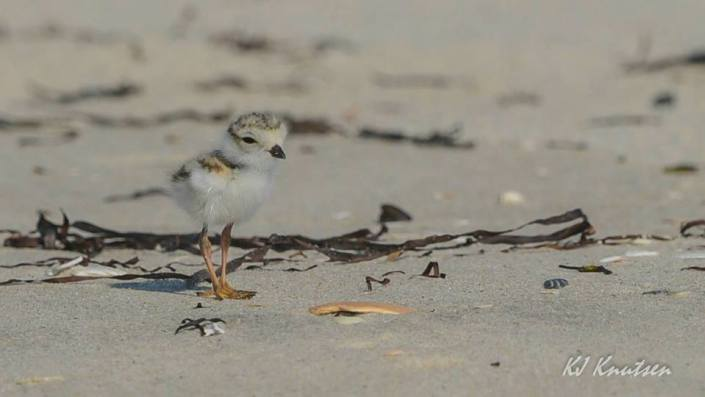 "One of four recently hatched ""itty-bitty"" piping plover chicks at Island Beach State Park. Photo courtesy of Kevin Knutsen."