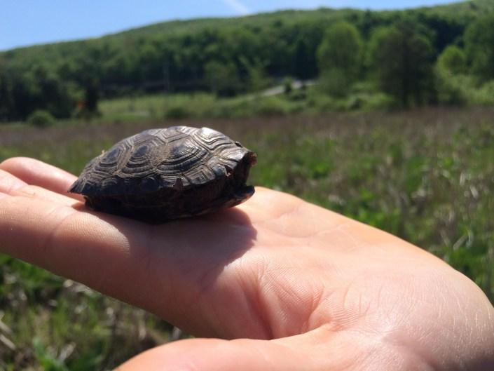 A hatchling bog turtle. Photo by Kelly Triece.