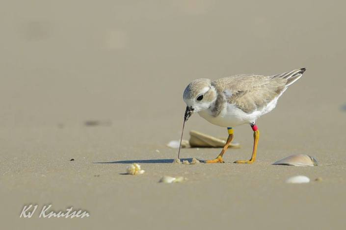 """One of a """"bumper crop"""" of piping plover fledglings produced in New Jersey in 2016. Photo courtesy of Kevin Knutsen."""