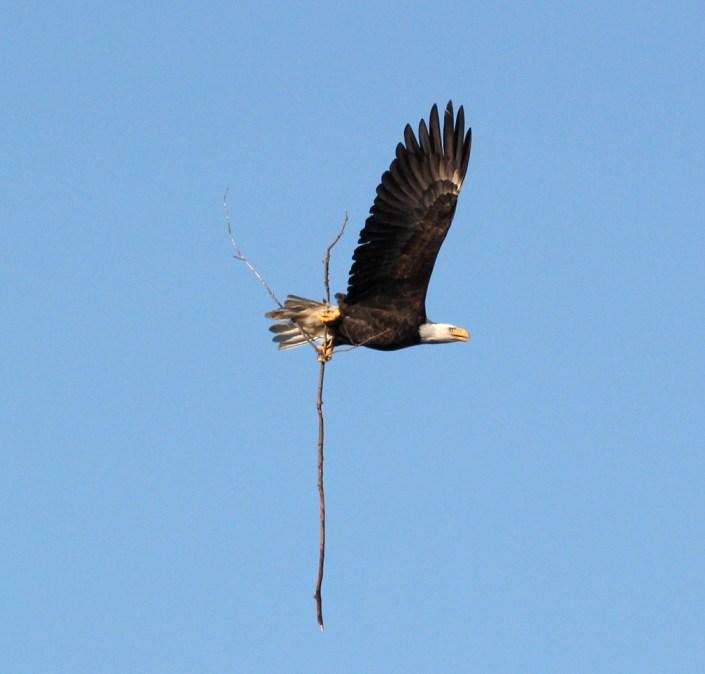 Adult brining stick back to nest 10/23/16@Alex Tongas
