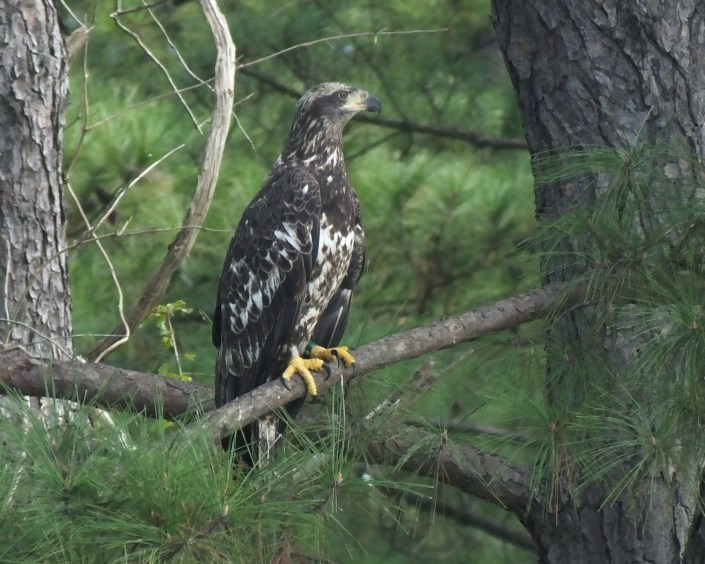 NJ Banded eagle 10/16/16, High Rocks Lake, NC@Carolyn Canzonieri