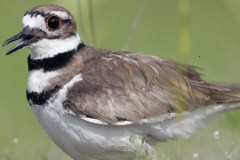 killdeer-by-blaine