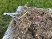 New nest on an old shack platform.