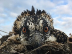 A four week old nestling lays low in the nest.