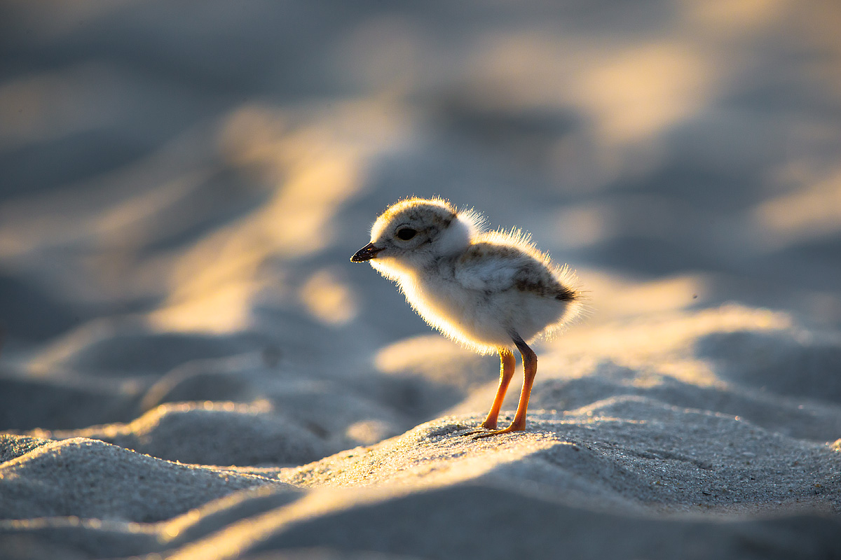 beach nesting bird project « Conserve Wildlife Foundation of New Jersey