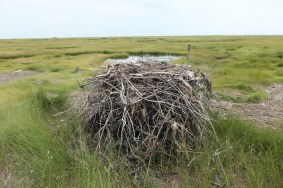 A rare ground nest, which is where many historically nested. Predators make these sites very poor nowadays.