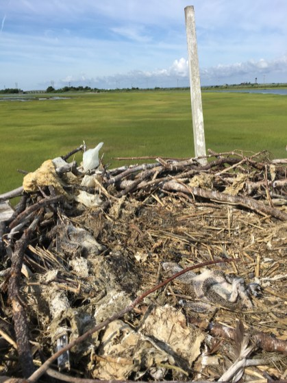 Active nest with two dead young.
