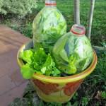 Les légumes qui se régénèrent tout seul