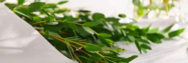 Maux de gorge ? Optez pour l'eucalyptus !