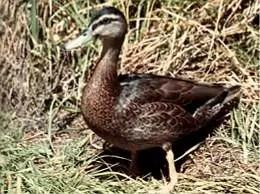 espèces-animaux-disparus-canard-oustalet