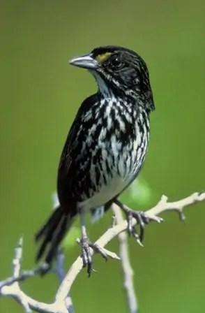 espèces-animaux-disparus-bruant-dos-noirâtre