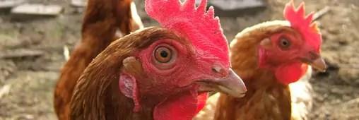Réduire les déchets avec des poules