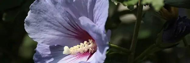 mauve-fleur-sol-acide-plante-acidophile-00-ban