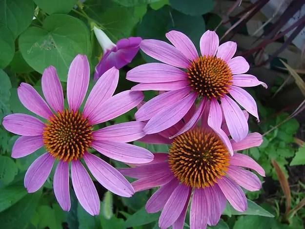 echinacea-échinacée-fleur-anti-inflammatoire