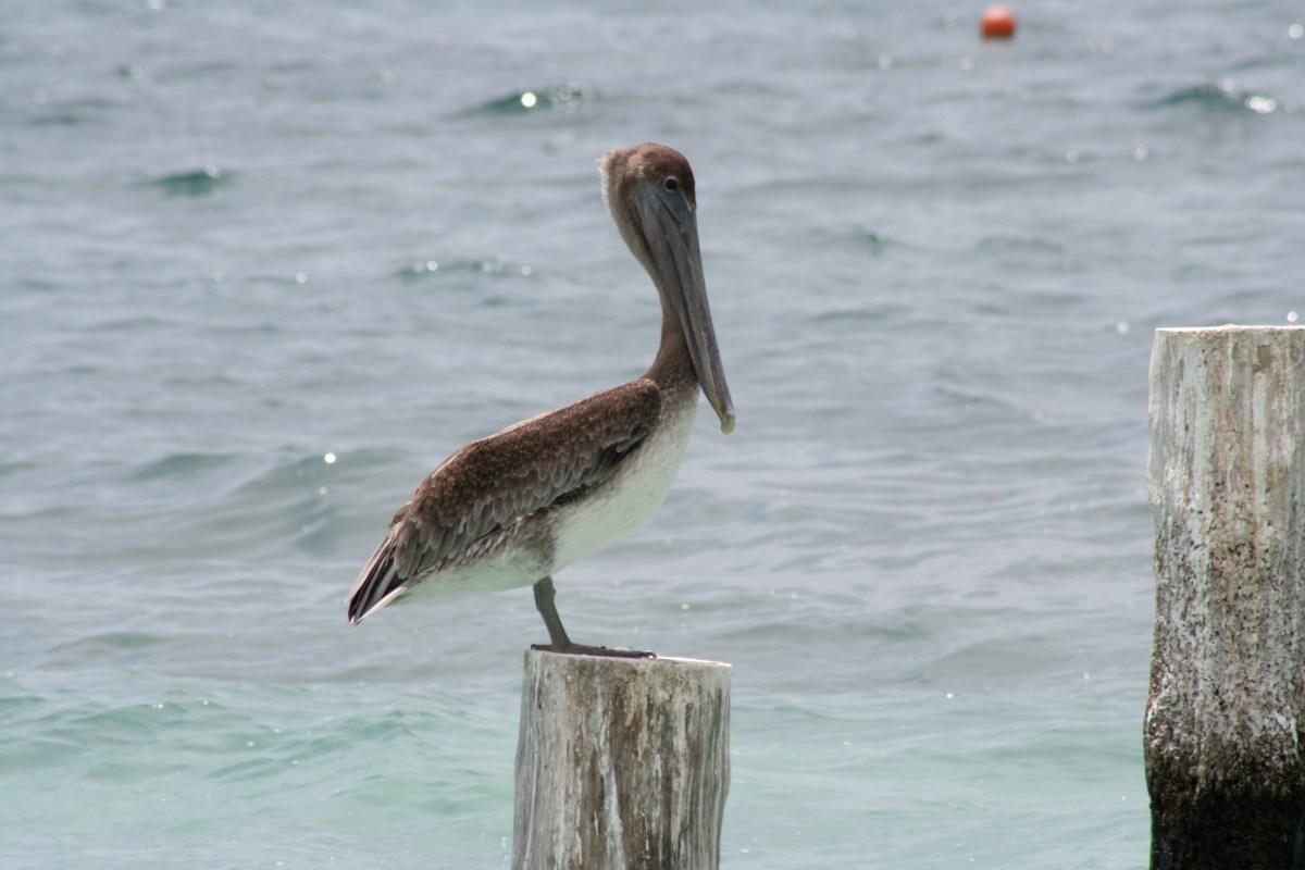 pelican constrained gourmet