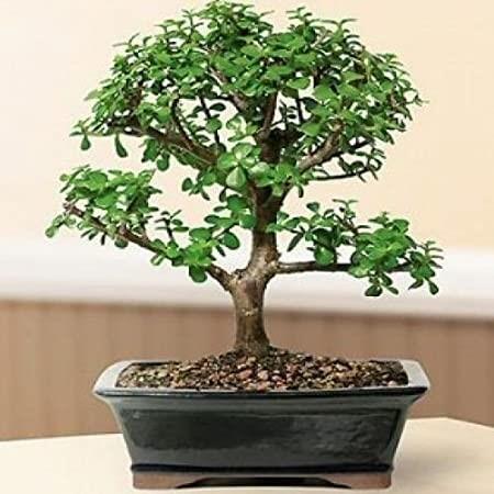 plantas ideales bonsai