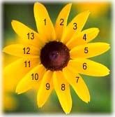 Fibonacci in Flower