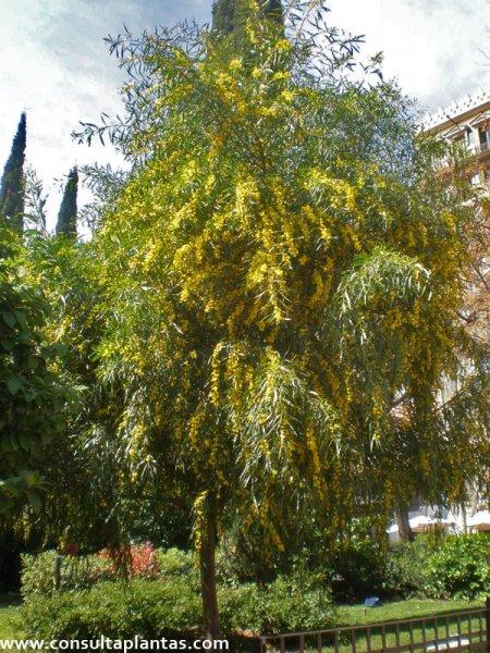 Acacia saligna o Acacia azul  Cuidados