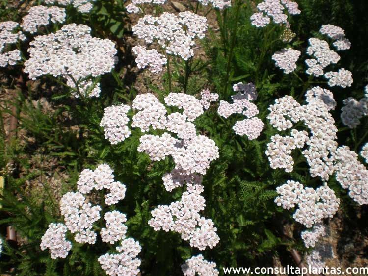 Achillea millefolium Milenrama o Aquilea  Cuidados