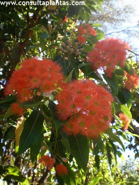 Eucalyptus ficifolia o Eucalipto rojo  Cuidados