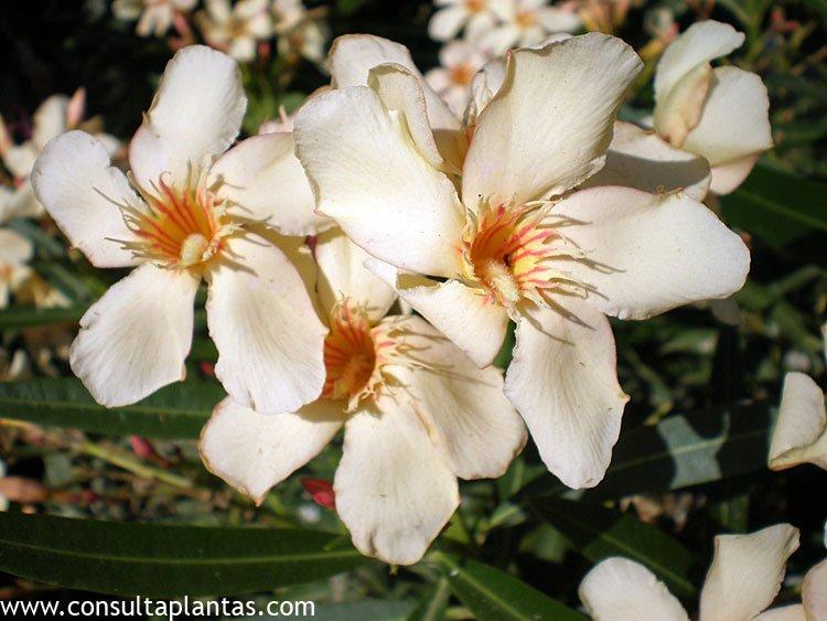 Nerium oleander Laurel rosa o Adelfa  Cuidados