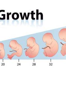 How fetal length and weight are measured also can be with growth chart rh consumerhealthdigest