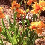 Augusta Irises