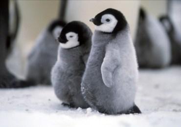 Dos terceras partes de la población de pingüinos están en grave riesgo