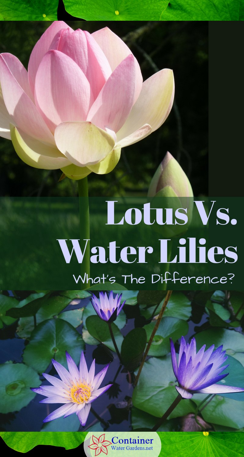 lotus in water plant diagram wiring for 220 outlet vs lilies what s the difference container gardens and lily plants