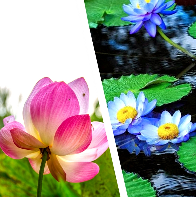 lotus in water plant diagram asp net mvc architecture vs lilies what s the difference container gardens