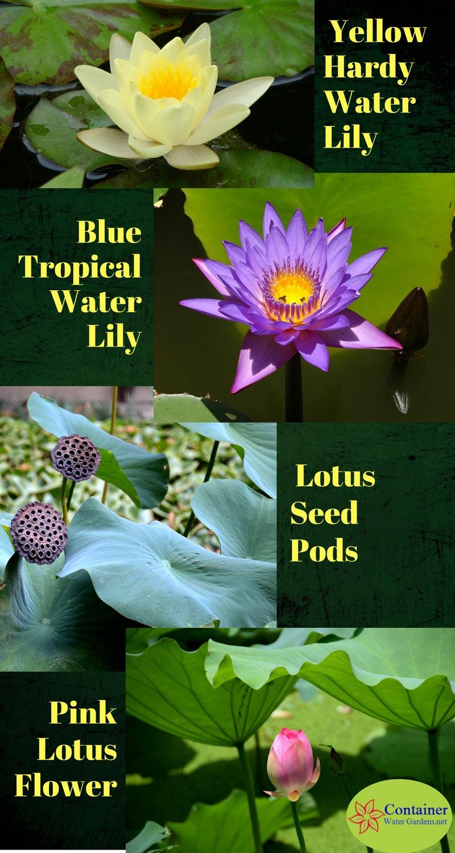 lotus vs water lilies