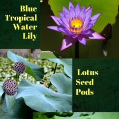 Lotus In Water Plant Diagram Circuit Breaker Wiring Vs Lilies What S The Difference Container Gardens And Lily Plants Infographic