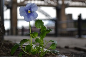 """Paul Harfleet, The Pansy Project, """"Unreported Attacks"""", Copthorne Hotel, The Quays, Newcastle"""