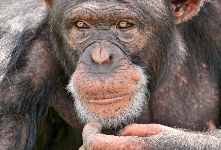 Image of a pondering chimp