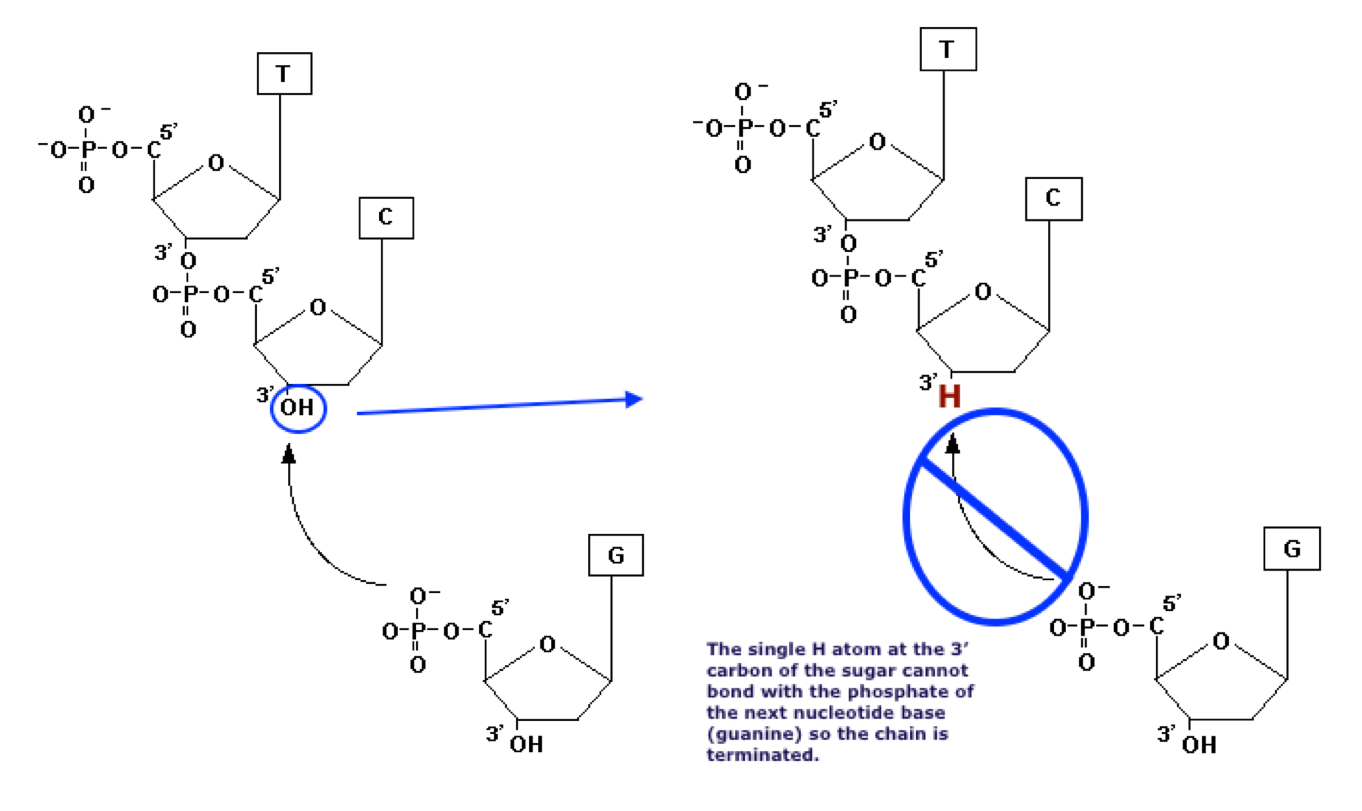 hight resolution of dideoxynucleotide structural formula compared to deoxynucleotide structural formula