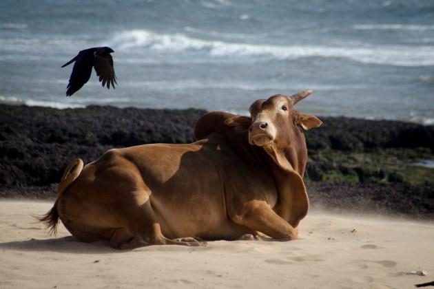 Voyage en Inde - Goa, une vache sur la plage