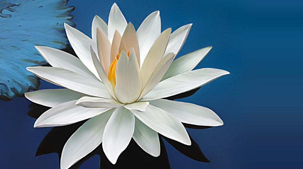 Flor de lótus capa