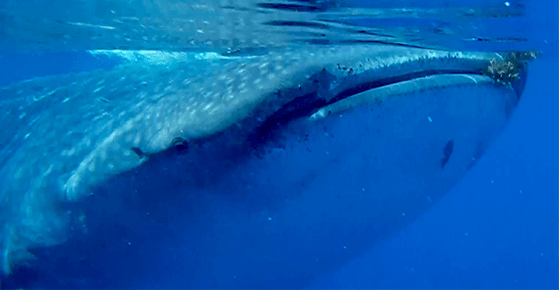 Swim with whale sharks is 100% safe Cancun Mexico