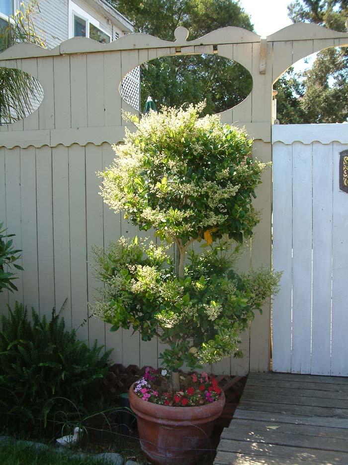 Privet 2019 Wax Topiary Leaf