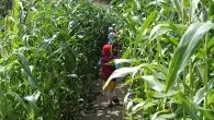 An A-maize-ing Maze is part of a Summer Spectacular at Willows Farm Village