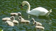 Swans on Canal - Contrary Life