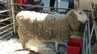 Glastonbury Wool & Alpaca Festival 2013