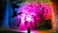 Glowing Giants in Benmore Botanic Garden