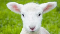 Willows Farm Village - Half term - Lambing Live - Hertfordshire