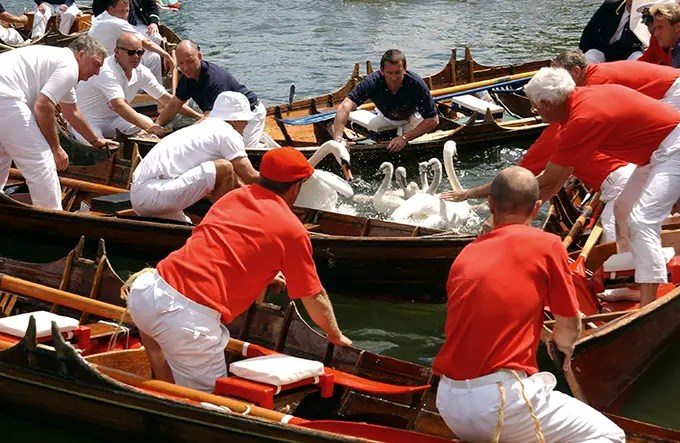 Swan Upping 2017 - Thames - Contrary Life