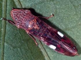 Glassy Winged Sharpshooter image (Wikimedia Commons)