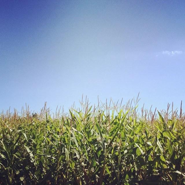 Dans le maïs Credit N'Grid (Creative Commons)